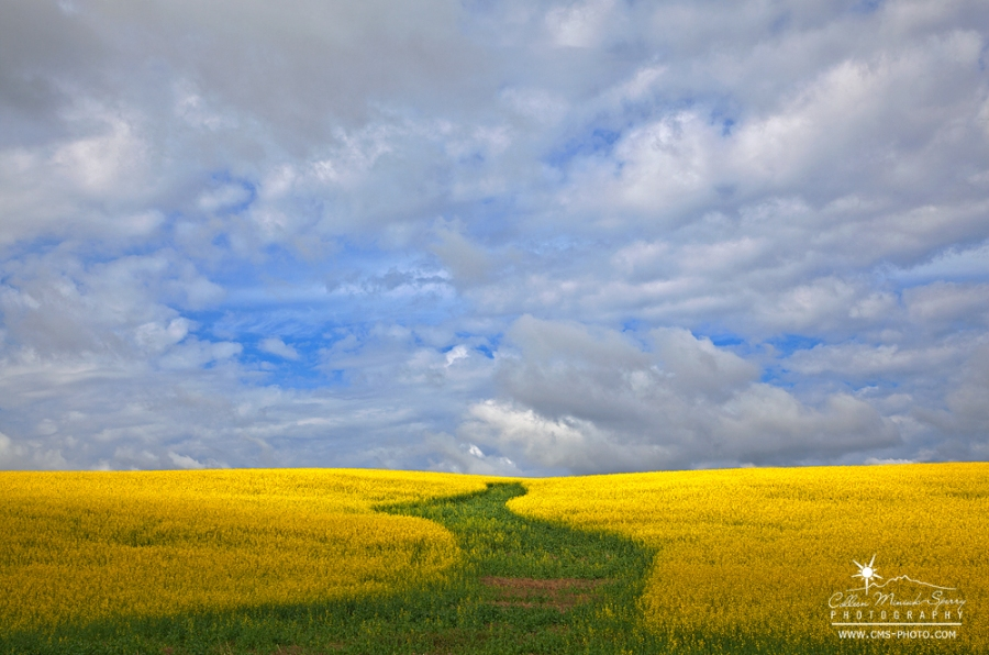 Canola field and clouds in Alberta, Canada